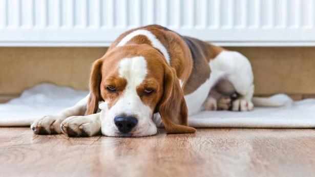 Cukrovka u psů