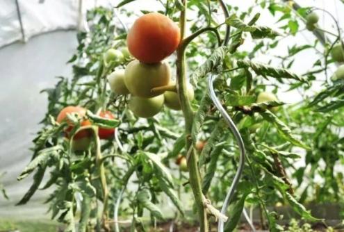 spiralove_tyce_na_paradajky(8)