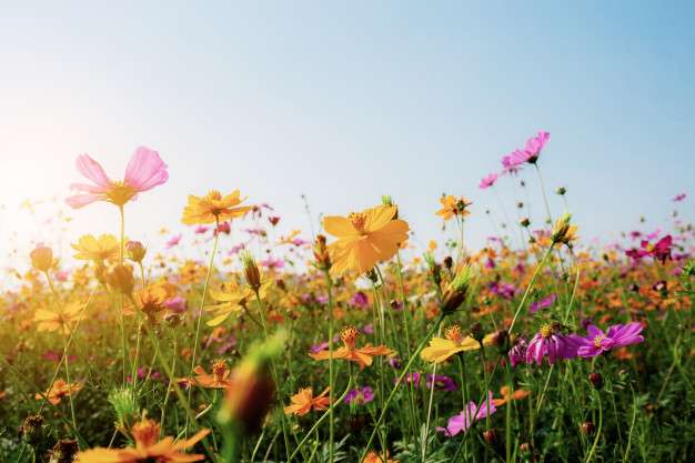 cosmos-field-with-sunset_29084-2310