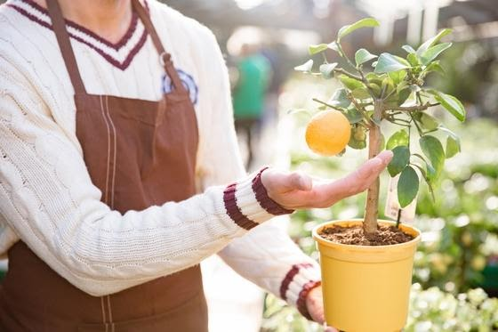 Pěstování citrusů doma