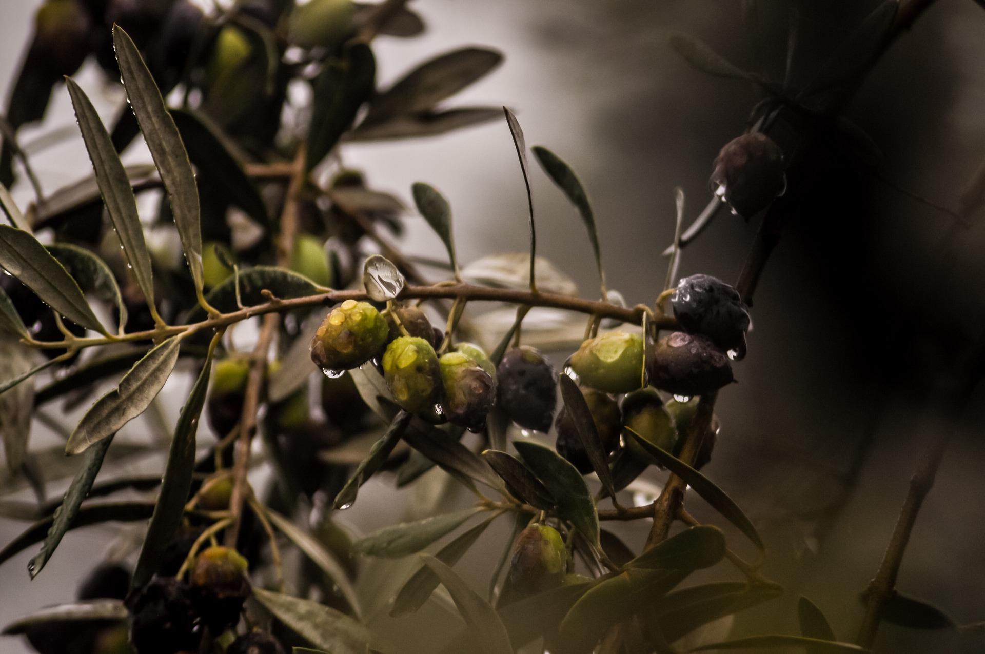 Pěstování olivovníku doma