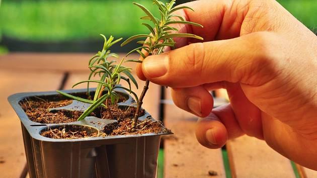 Řízkování rostlin