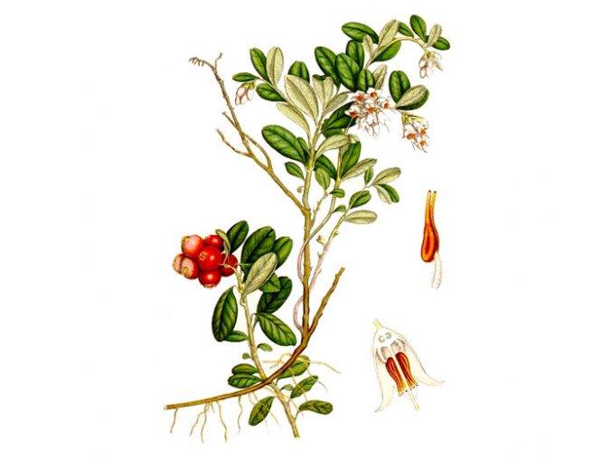 Brusinka list (Hmotnost 100 g)