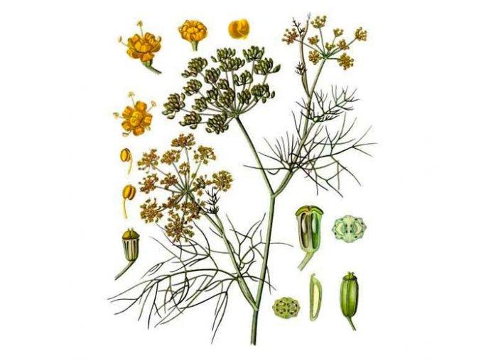 Fenykl plod (Hmotnost 100 g)