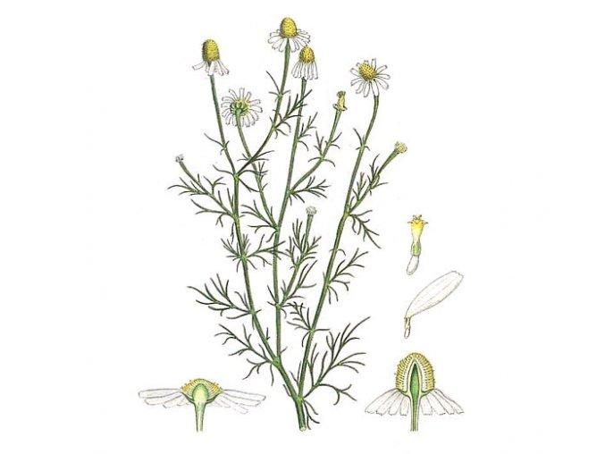 Heřmánek květ (Hmotnost 100 g)