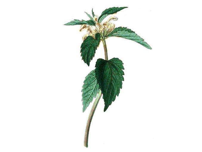 Hluchavka květ (Hmotnost 100 g)