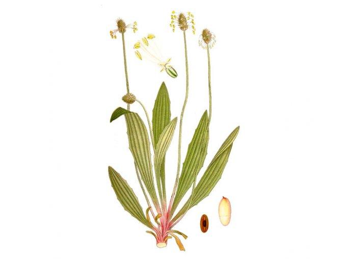 Jitrocel list (Hmotnost 100 g)