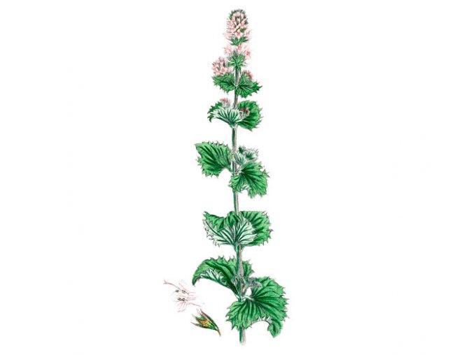 Máta kadeřavá list - Marocká máta (Hmotnost 100 g)