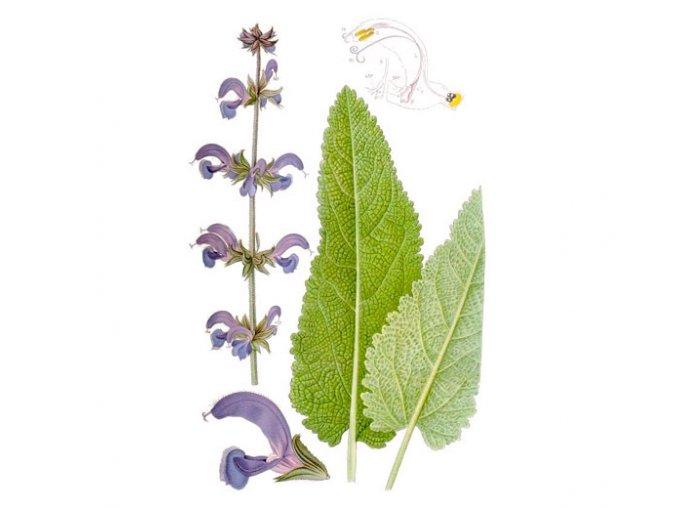 Šalvěj list (Hmotnost 100 g)