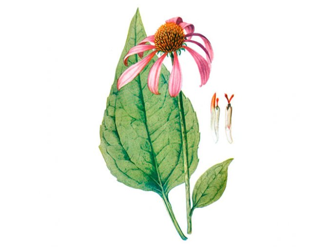 Třapatka kořen (Echinacea) (Hmotnost 100 g)