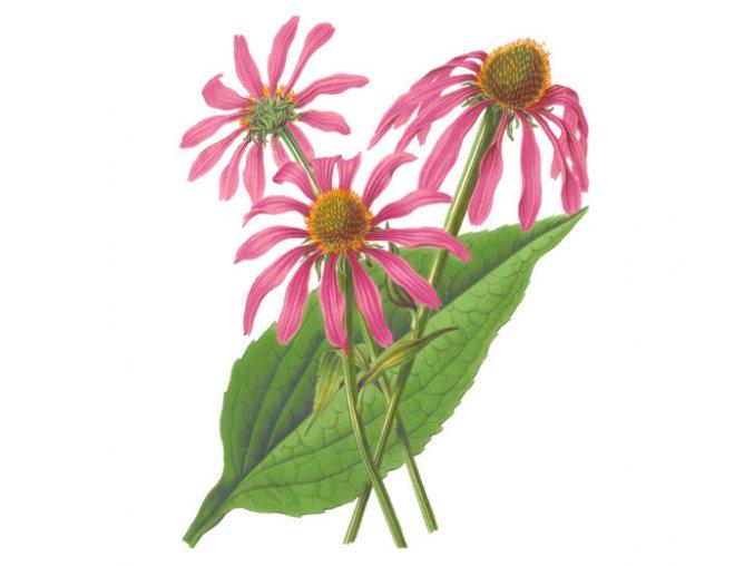 Třapatka nachová nať (echinacea) (Hmotnost 100 g)