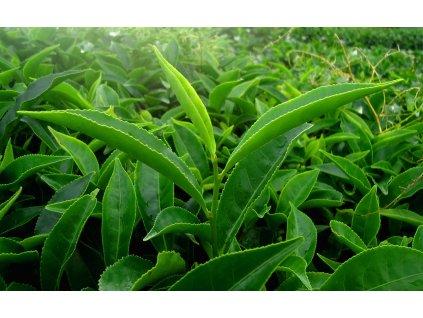zelený čaj2