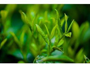 zelený čaj3