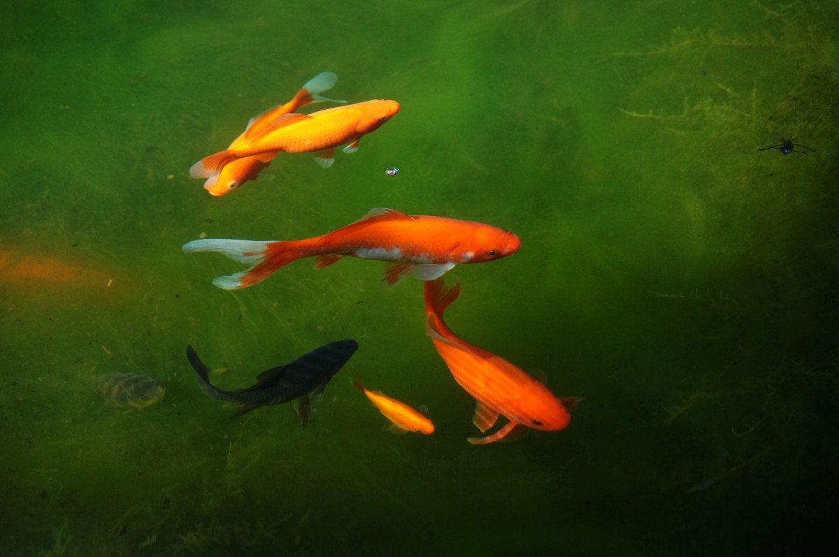 Jezirko zahradni ryby