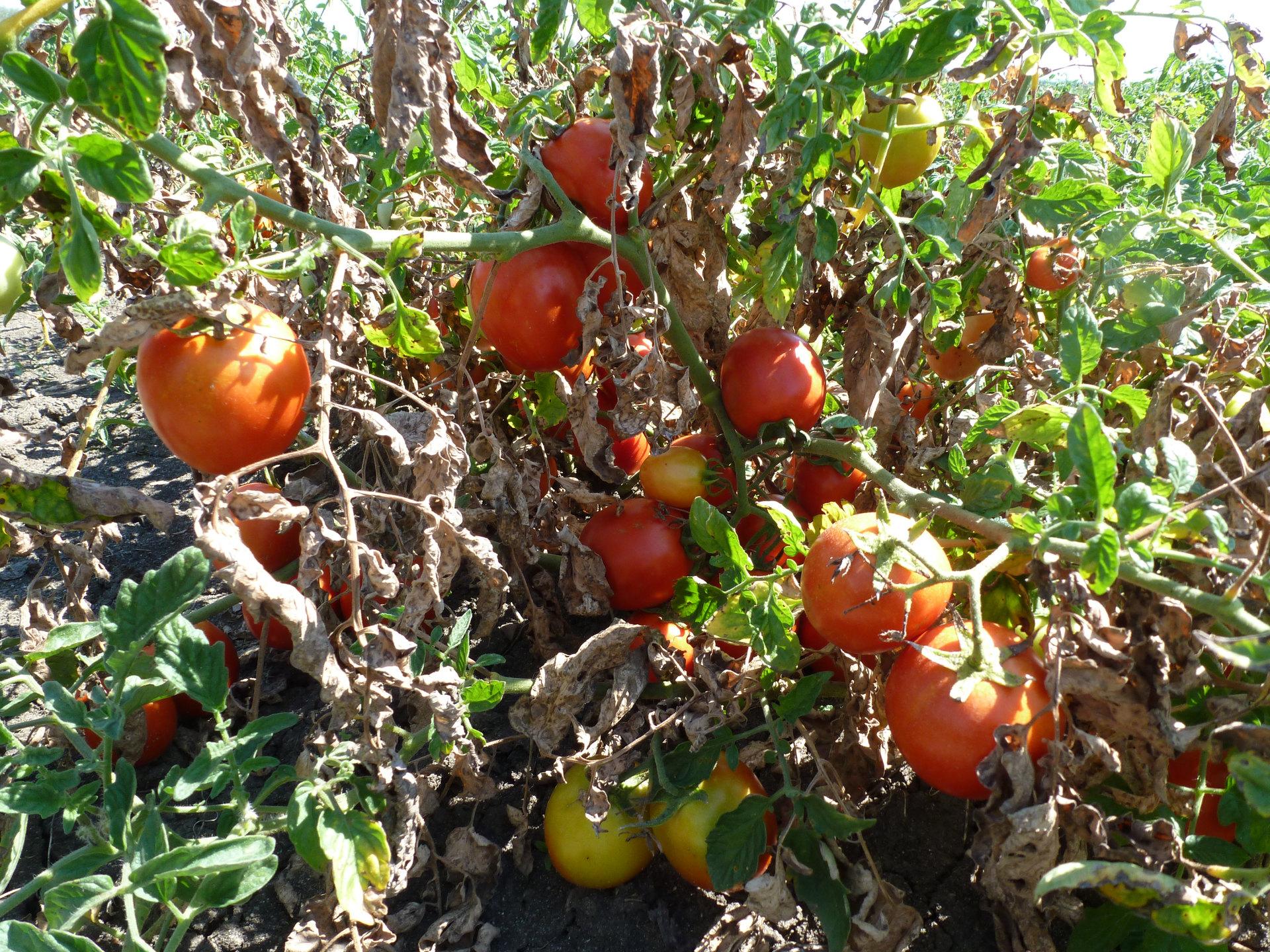 Trápí Vás houbové choroby u révy, ovocných stromů nebo rajčat?