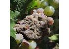 Plíseň šedá (Botrytis cinerea)