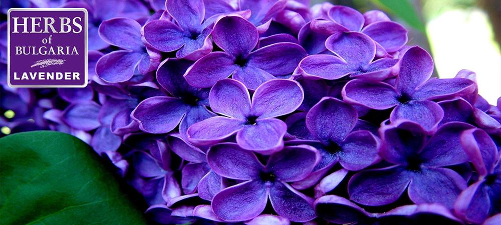 Květy levandule