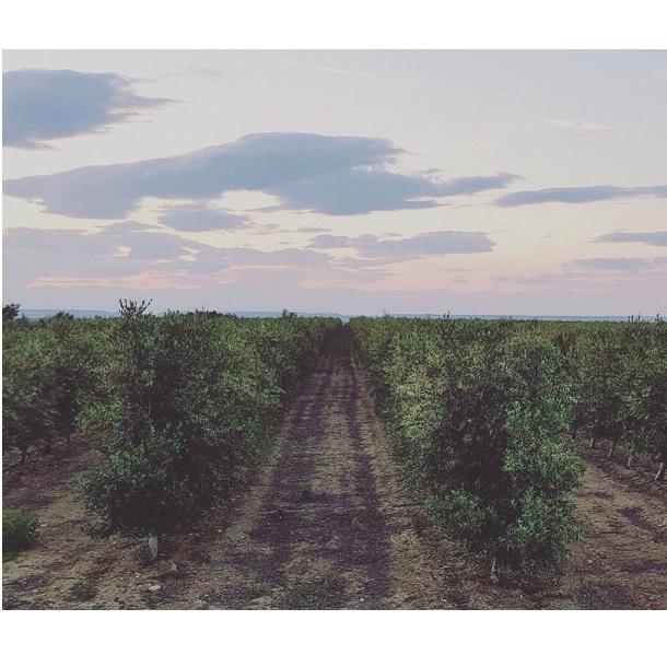 Odkud pochází náš olivový olej