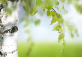Breza previsnutá (betula pendula)