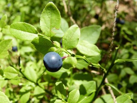 Čučoriedka čierna (vaccinium myrtillus)