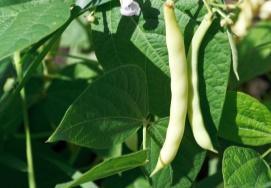 Fazuľa obyčajná (Phaseolus vulgaris)
