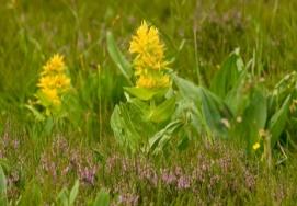 Horec žltý (gentiana lutea)