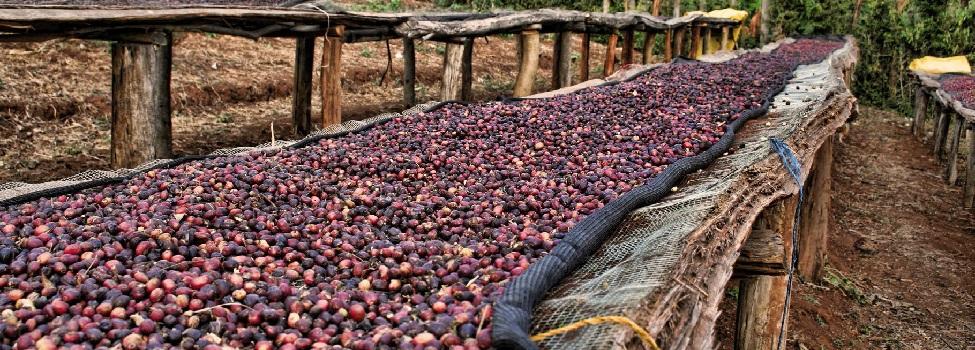 Sušení kávy na tzv. afrických postelích (Etiopie)