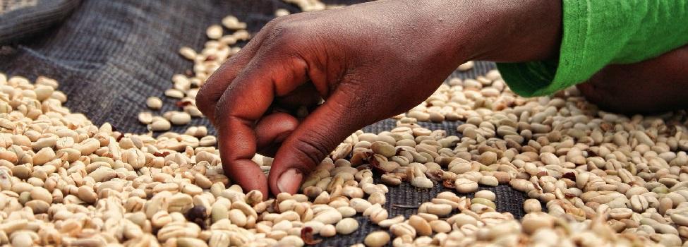 Přebírání zrnek v Etiopii