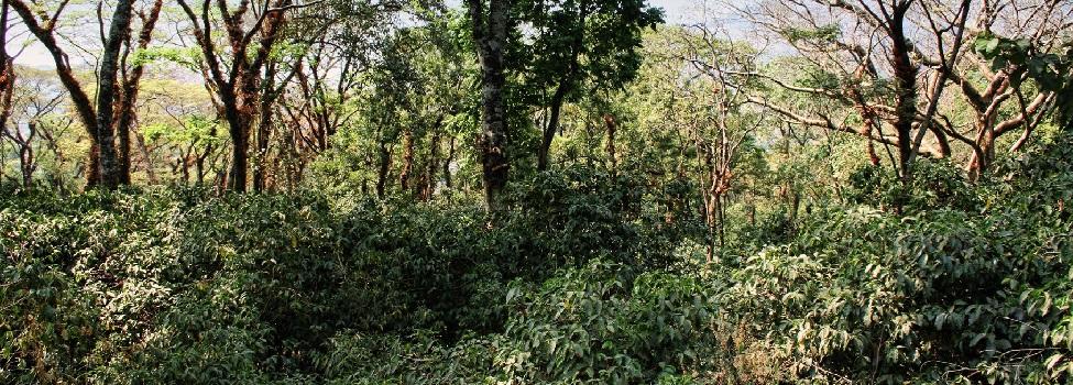 Tropický les s kávovníky (Etiopie)