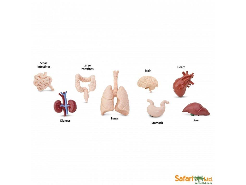 Tuba Lidské orgány 1
