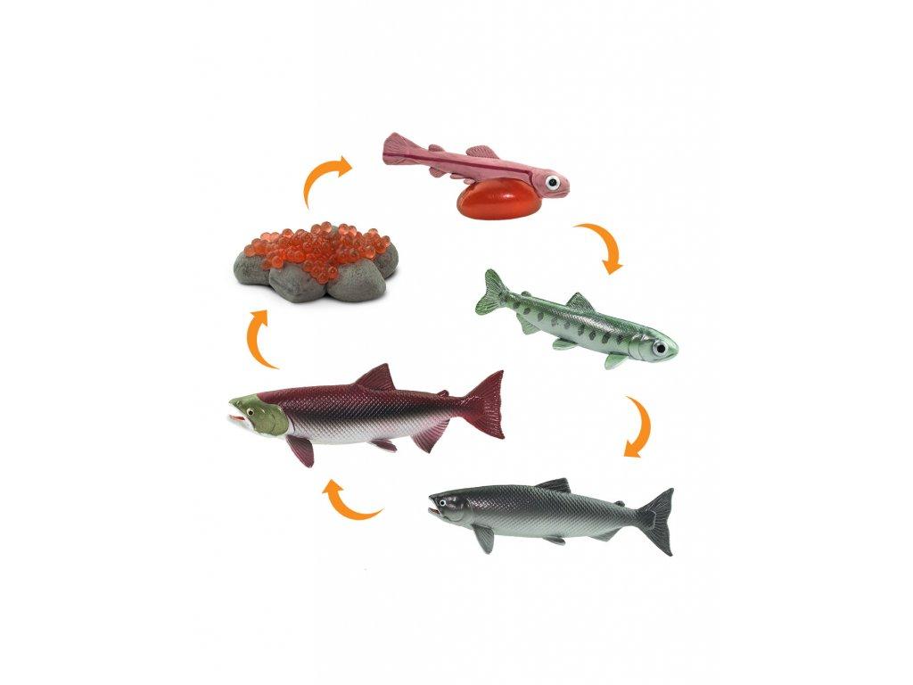 Životní cyklus Losos