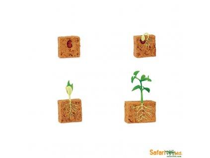 Životní cyklus Zelená fazole 2