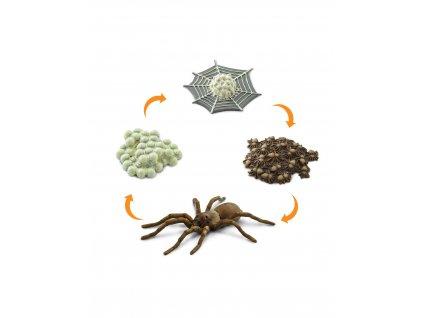 Životní cyklus Pavouk