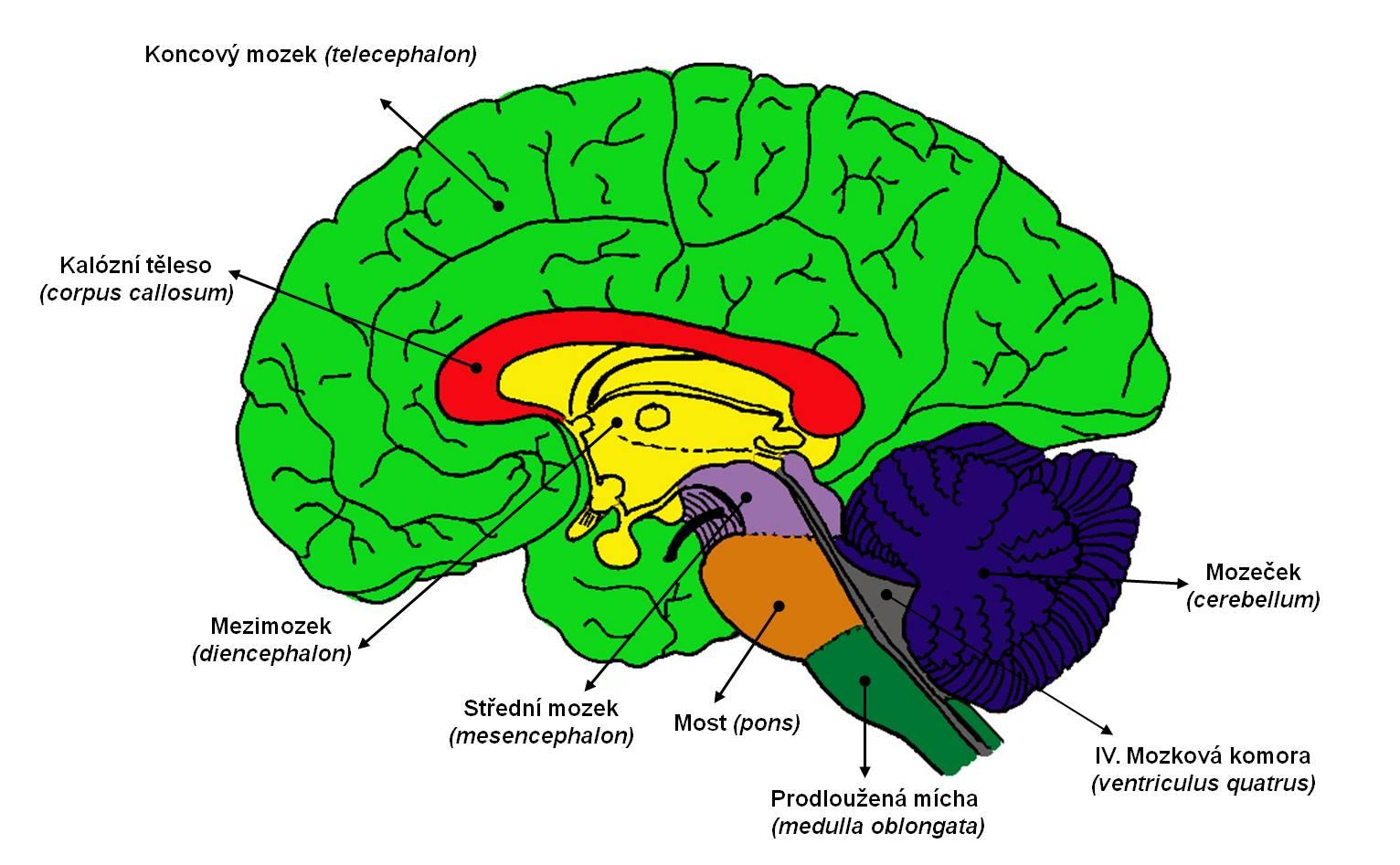 anatomie-mozku