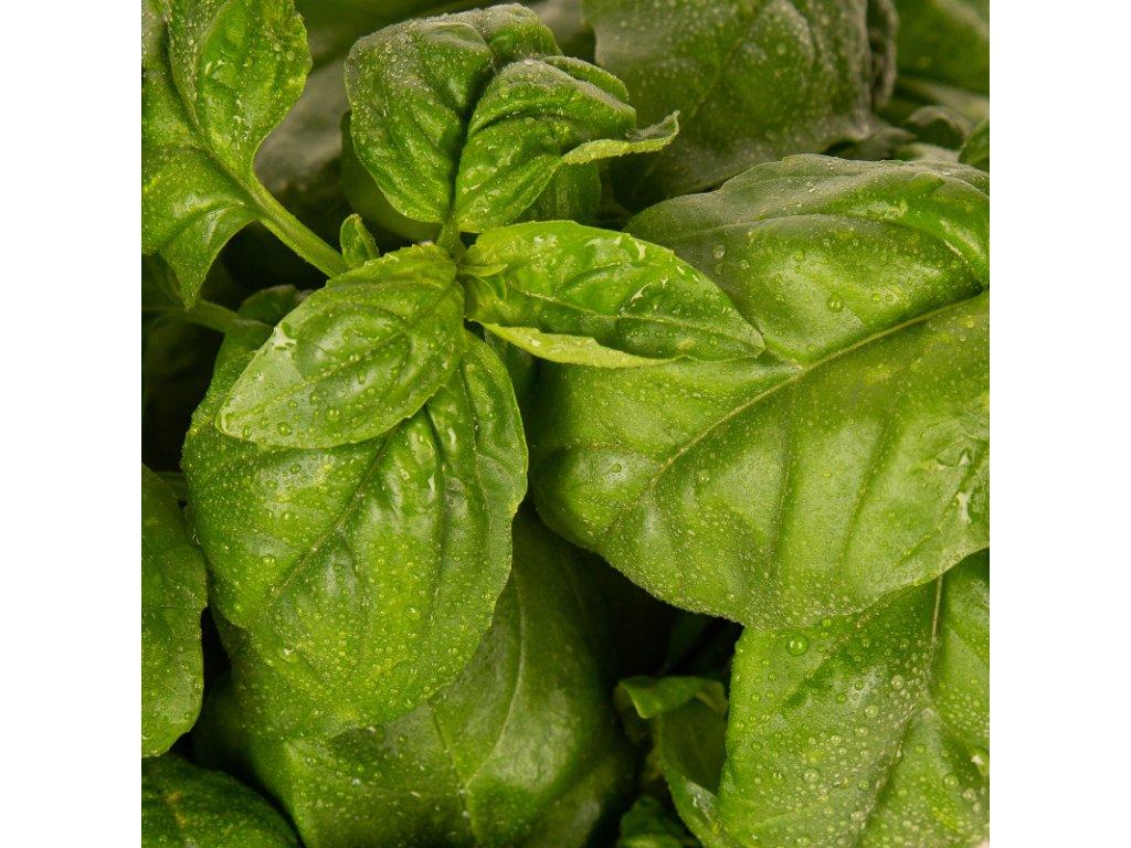 Plantui Basil, 3 kapsle, bazalka pravá