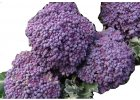 M Broccoli PurpleSprouting