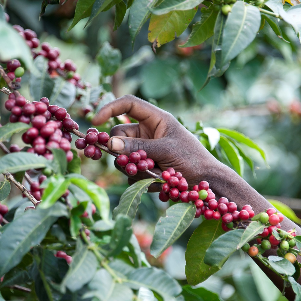 Uganda Direct Trade