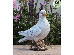 holub domácí
