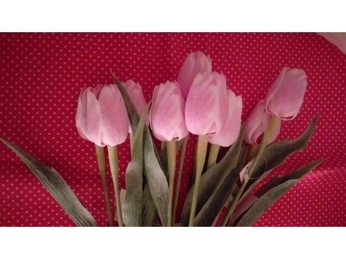 Tulipán bílo-tmavě růžový