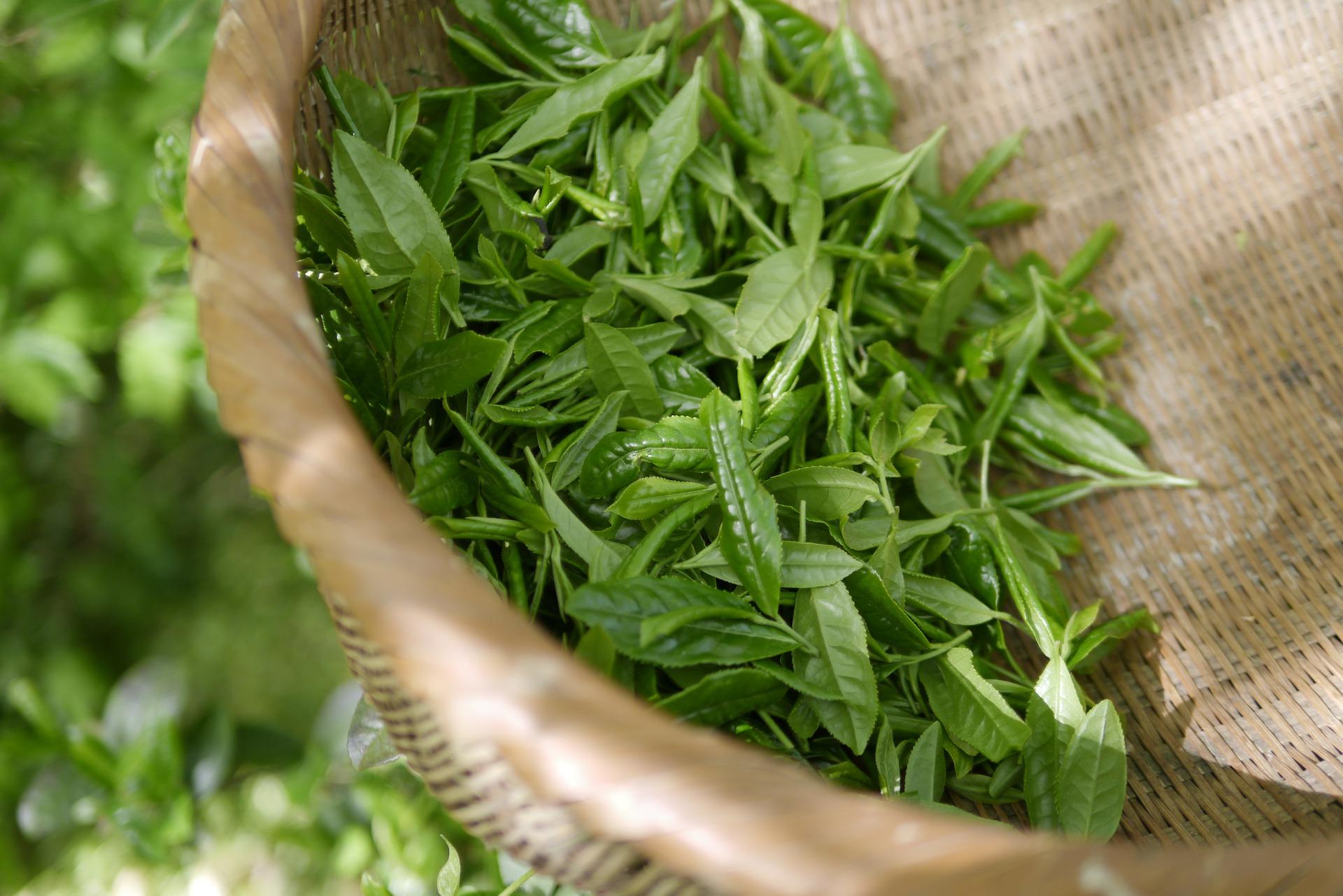 Jak si připravit čaj Japan Bancha - Je možné použít i druhý nebo třetí nálev?