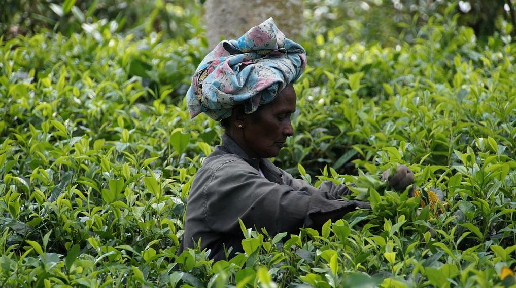 Klasifikace černého čaje - rozdělení čajů