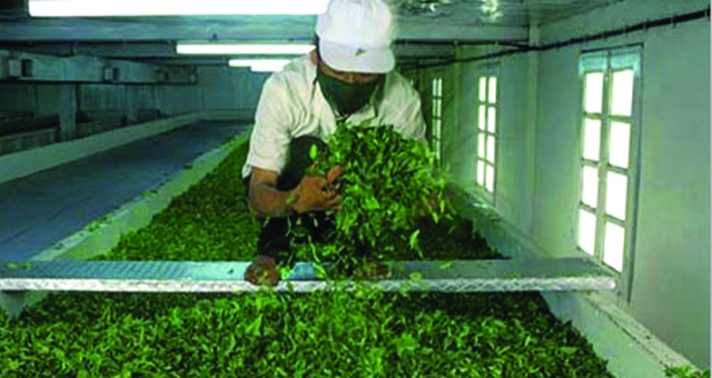 O výrobě čaje