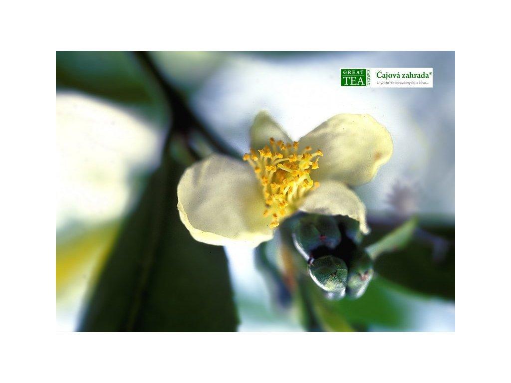 Plakát Čajový květ