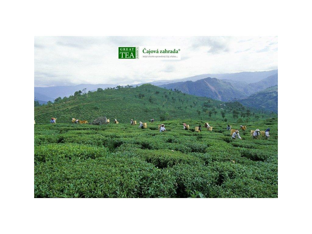 Plakát Čajová plantáž Darjeeling