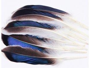 Kachní peří letky černo modro bílé 01