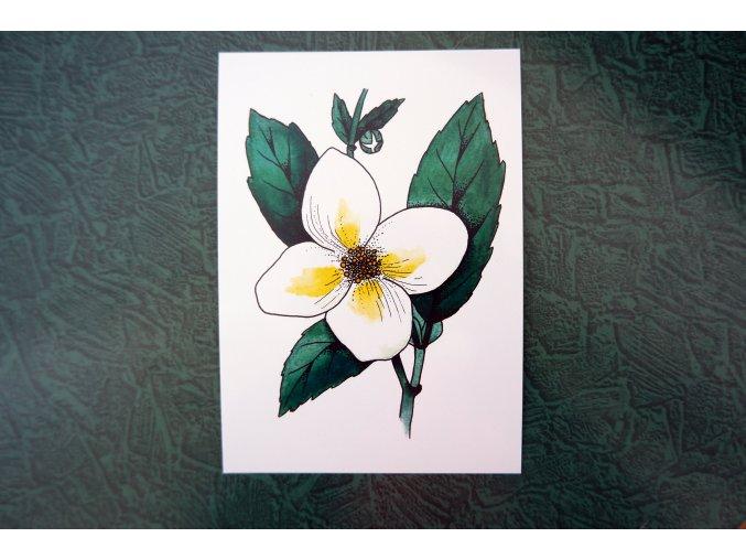 Bílý květ - pohlednice