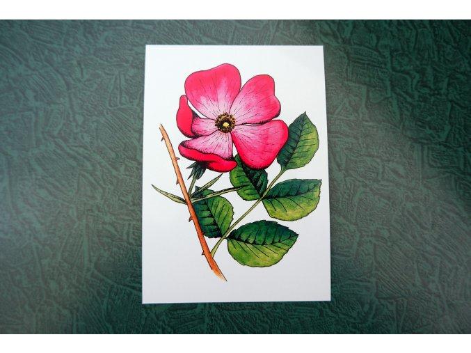 Šípková růže - pohlednice
