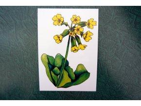 Prvosenka - pohlednice