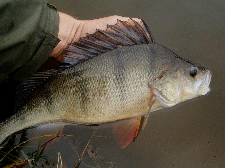 Horní míra dravých ryb