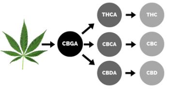 CBG-CBGA-kanabinoidy